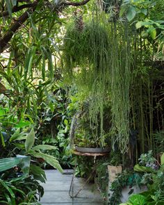 The Redfern courtyard garden of Ian McMaugh with  a curtain of mistletoe cactus (Rhipsalis spp.)