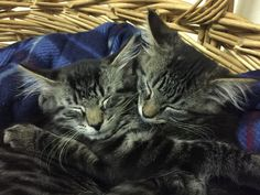Twin kittens When U R Not There Pet Care cat sitting service