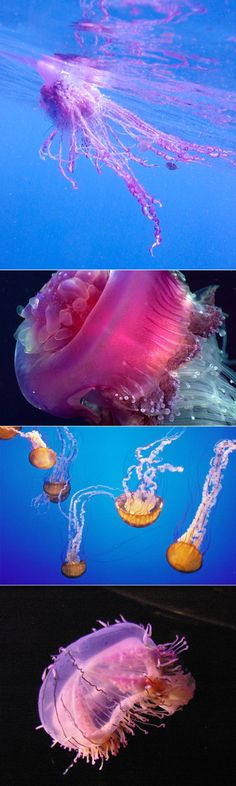 I think jellyfish are one of my favorite creations....they are simply exquisite!