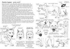 How_to_draw_the_Wolf by Elruu., How to draw Wolves, Wolf Anatomy reference… Animal Sketches, Animal Drawings, Art Drawings, Drawing Animals, Dog Anatomy, Anatomy Drawing, Animal Anatomy, Anatomy Reference, Drawing Reference