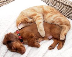 Dachshund puppy with cat sleeping after knowing each other just one day. Photo by Annemieke Kierkels on facebook.com