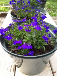 Annual Lobelia (lobelia erinus): This common bedding or edging plant grows about 12 cm high and spreads 15 to 40 cm wide. Flowers are usually blue, purple, or white. It is from South Africa to Somalia.