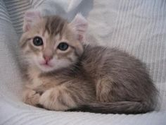 Image of cuty American Curl kitten - See more stunning cats Beeds at Catsincare.com!