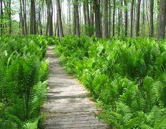 Fern Forest Floor by therese Ferns Garden, Shade Garden, Garden Paths, Garden Steps, Landscape Design, Garden Design, Forest Landscape, Fern Forest, Plants Under Trees