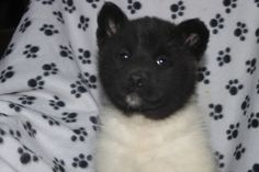 Champion Sired Akita Puppies For Sale In Pa.  This litter is as nice as they come, the puppies are AKC registered and champion sired. The puppies are also raised with children and vet checked and have their shots and worming done. Call 717-927-6218   http://www.cutepuppiesforsaleinpa.com/