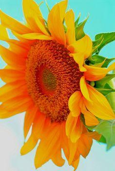 Sunflower. | Stunning Places #StunningPlaces