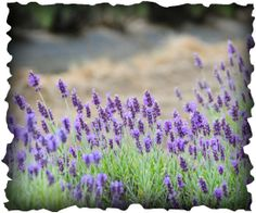Bear Creek Blooms (Dahlias and Lavender)