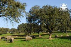 Señorío de Montanera, amantes de la dehesa, naturalmente el mejor jamón de bellota. Señorío de montanera agrupa a más de 60 ganaderos con dehesas de encinas y alcornoques en Extremadura, Andalucía y el Alentejo portugués, donde se crían cerdos de raza ibérica pura. Somos ganaderos tradicionales, criamos cerdos ibéricos puros que pasan el otoño e invierno en montanera, alimentándose de pastos naturales y bellota. http://senorio.es/saber-mas/