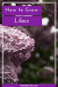 Lilacs epitomize Springtime. Learn how to grow lilacs in your flower garden with this how-to guide! This shrub is actually a low-maintenance perennial and very easy to care for, and the fragrance is incomparable!