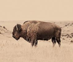 Rustic Buffalo Print by Troy Moth