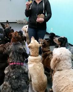 Treat time!  #tgif #treattime #dogsofig #yycdogs #bark #daycare #patience