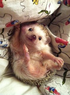Adorable baby hedgehog <3