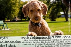 """Myth: Goldendoodles don't shed. Fact: F1 Goldendoodles CAN shed. Half of my litter mates shed. It all depends if they get more of  the """"shedding"""" attribute from the Golden or the Poodle."""