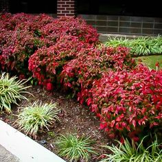 Firepower Nandina Full Shade or Full Sun, evergreen, leaves are brilliant Red in winter and spring new growth is green, H & W 1-2', moderate to good drought tolerant, easy to grow, pest & disease free, non invasive.