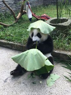 Summer can be extremely hot in Sichuan, China, the homeland of pandas. But one panda baby has figured out how to escape from the blaze of the hot sun, an energy-saving and environment-friendly way. Cute Baby Animals, Animals And Pets, Funny Animals, Panda Love, Cute Panda, Mundo Animal, My Animal, Bear Animal, Beautiful Creatures