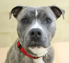 Petango.com – Meet Paco, a 1 year 4 months Terrier, Pit Bull / Mix available for adoption in Hagerstown, MD