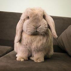 @gabriellem162 Mini Lop Bunnies, Cute Baby Bunnies, Holland Lop Bunnies, Mini Lop Rabbit, Dwarf Bunnies, Bunny Bunny, Cute Little Animals, Cute Funny Animals, Cute Dogs