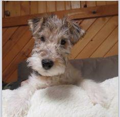 Wire Fox Terrier Puppy