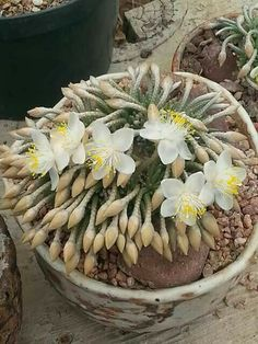 Avonia quinaria ssp. alstonii. Native to South Africa. (Succulent)