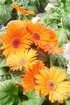Trick to successfully growing Gerber Daisies in Houston, plant in pots! Do best with morning sun, afternoon shade.