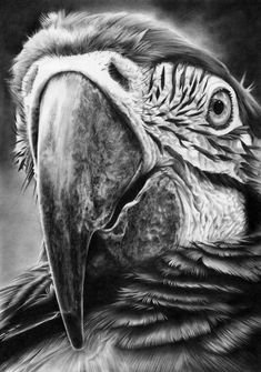 "Pencil Drawings Parrot pencil drawing by Peter Williams. - ""I am Peter Williams, an entirely self taught UK artist, working out of my studio on the Suffolk coast where I live with my long term partne. Pencil Drawings Of Animals, Bird Drawings, Drawing Sketches, Realistic Drawings Of Animals, Drawing Ideas, Hyper Realistic Paintings, Drawing Step, Drawing Tutorials, Drawing Techniques"