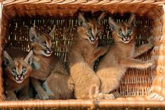 Four caracal cubs sit in a basket as they are shown to media for the first time at the Animal Park zoo in Berlin. The caracals, also known as desert lynxes, were born in the zoo on July Photograph: Markus Schreiber/AP Cute Animal Photos, Cute Photos, Lynx, Berlin, Funny Animals, Cute Animals, Home Remedies For Skin, Elephant Sanctuary, Caracal