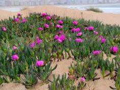 """Résultat de recherche d'images pour """"plante rampante bord de mer"""""""