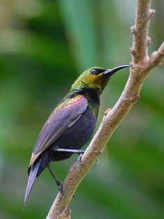 Copper Sunbird (Cinnyris cupreus) is a species of bird in the Nectariniidae family. It is found in Africa.