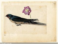 LEMOYNE DE MORGUES Jacques, ca 1533-1588 (France) - a sheet of studies with a swallow and a double gilliflower -