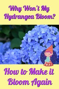 Hydrangea Potted, Pruning Hydrangeas, Hydrangea Landscaping, Hydrangea Bloom, Hydrangea Care, Hydrangea Not Blooming, Hydrangea Flower, Landscaping Ideas, Hydrangea Fertilizer