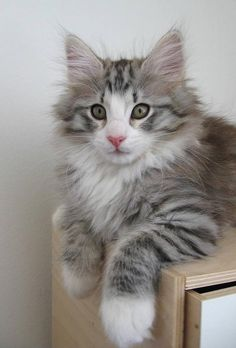 Norwegian Forest Cat kitten, makes me miss our Mutt, a foundling but some degree of Norwegian or Maine Coon