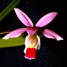 Barkeria uniflora - Orchids Wiki