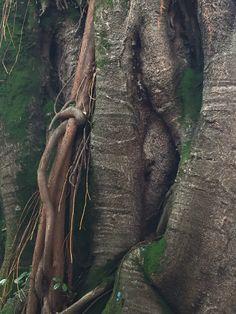 Tronco Ficus elastica