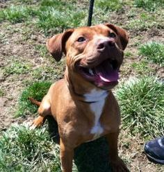 Morocco: Pit Bull Terrier, Dog; Dayton, OH available for adoption  http://www.adoptapitrescue.org/