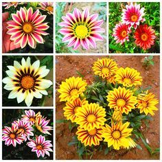 Popular Gorgeous Gazania Rigens Seeds Rare Flower Bonsai Plant Africa Seed For DIY Home Garden Supplies Seeds 100 Pcs