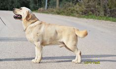 Labrador Retrievers, Labradors, Turkey, Dogs, Animals, Html, Labrador Retriever, Animales, Turkey Country