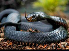 Descoberto serpentes com alto nível de letalidade no país http://angorussia.com/noticias/angola-noticias/descoberto-serpentes-com-alto-nivel-de-letalidade-no-pais/