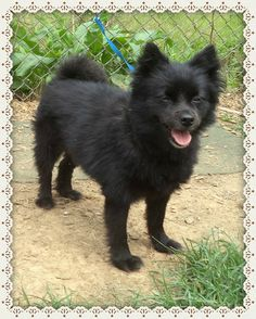 Casey is a fully vetted (approx) 5 yr old F, HW-NEG Schipperke/Pom mix. She's around 10 lbs and is a happy healthy girl. She gets along with the other dogs and is good around children as well. -- Mini Paws Rescue in #Lilburn, #Georgia