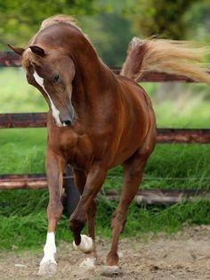 L'Arabe - Un cheval Arabe au trot