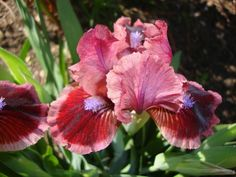 Photo of the bloom of Standard Dwarf Bearded Iris (Iris 'Cat's Eye') posted by Paul2032 - Garden.org