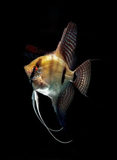 manacapuru angelfish - Google Search
