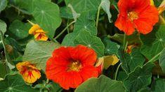 Lichořeřišnice vám ozdobí zahradu i balkón, ale skvěle také pomůže v boji proti nemocem...