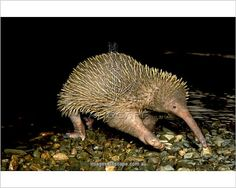 Photographic Print (various sizes); Eastern long-beaked echidna (Zaglossus bartoni) , crossing a rocky stream. Papua New Guinea (endemic)