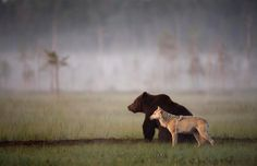 "Photographer Lassi Rautiainen recently captured the profound partnership between a she-wolf and a brown bear in the wilds of northern Finland. For days, he witnessed the strange pair meet every evening to share food after a hard day of hunting. No one knows when or how this relationship was formed, ""but it is certain that by now each of them needs the other."" A she-wolf and a brown bear partnership - Imgur"