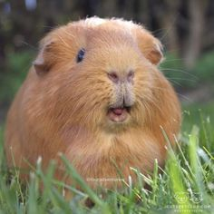 guinea pig showing up his prettiest smile
