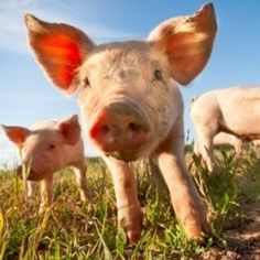 Tell the University of Toledo: Stop Training on Pigs - The Animal Rescue Site - Save innocent pigs from cruelty now!