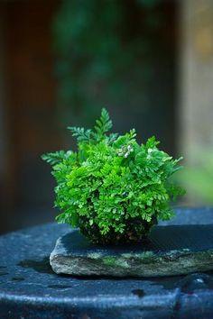 Picture diary of a kusamono, 3- The shinobu fern on 2010.