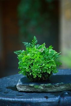 Picture diary of a kusamono, 3- The shinobu fern on 2010.