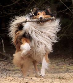 Dixie Rider's collie that helps him out with moving things and for support Beautiful Dogs, Animals Beautiful, Beautiful Cover, Canis Lupus, Scotch Collie, Collie Dog, Rough Collie Puppy, Herding Dogs, Mundo Animal