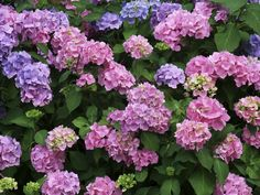 Growing hydrangeas is so much fun. When given suitable growing conditions, their…